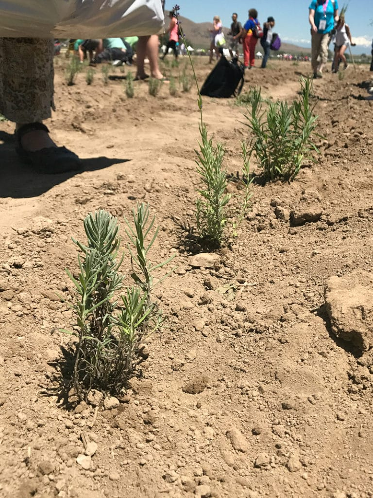Newly planted lavender at the Young Living farm in Mona Utah